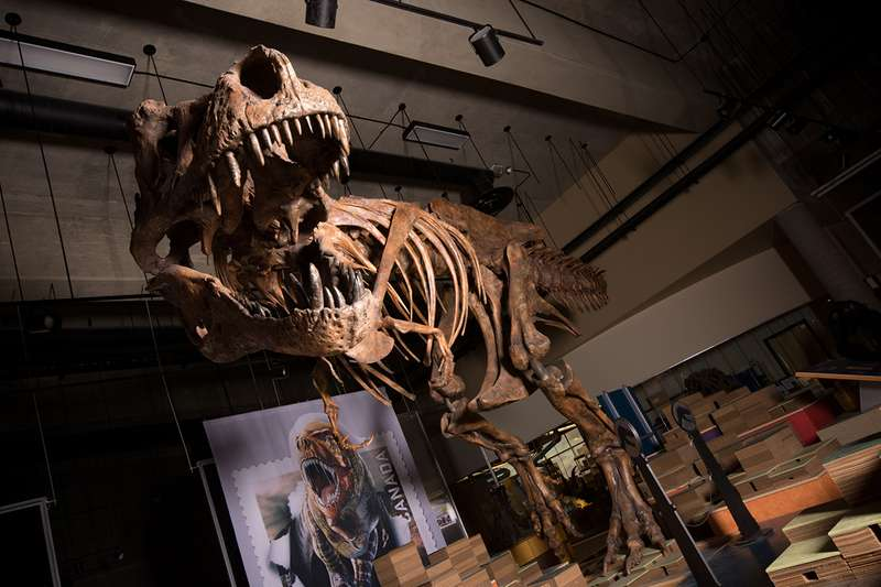 "The Tyrannosaurus rex ""Scotty,"" who was discovered in western Canada in 1991, is the world's biggest, according to a new study by Canadian scientists. (Amanda Kelley/Getty-AFP)"