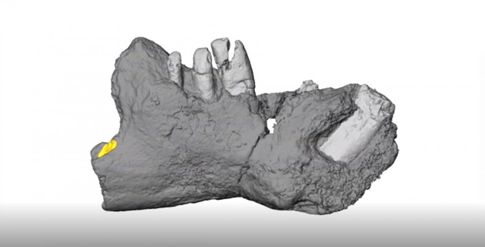 Side view of the lower jaw of Galulatherium jenkinsi, the most complete mammal yet know from the Cretaceous Period of the African continent, and named this week by researchers from Ohio University. Credit : Patrick O'Connor, Ohio University