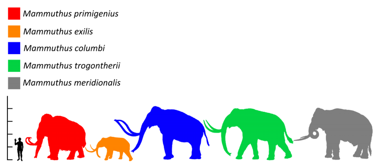 Size (red) compared to a human and other mammoths