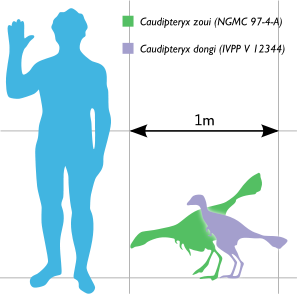 Size comparison of Caudipteryx species to a human.