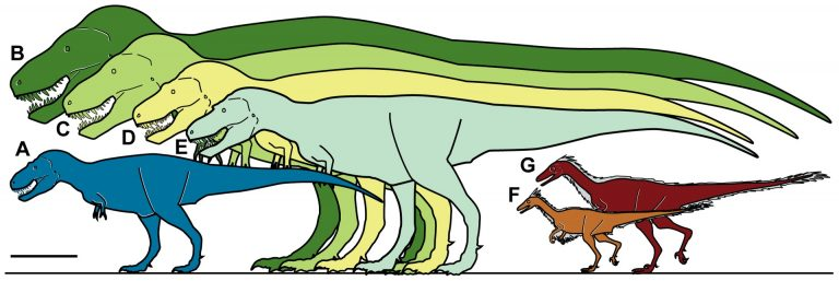 Size of Nanuqsaurus compared to other theropods. A, Nanuqsaurus hoglundi, based on holotype, DMNH 21461. B, Tyrannosaurus rex, based on FMNH PR2081. C, Tyrannosaurus rex, based on AMNH 5027. D, Daspletosaurus torosus, based on FMNH PR308. E, Albertosaurus sarcophagus, based on TMP 81.10.1. F, Troodon formosus, lower latitude individual based on multiple sources and size estimates. G, Troodon sp., North Slope individual based on extrapolation from measurements of multiple dental specimens. Scale bar equals 1 m.
