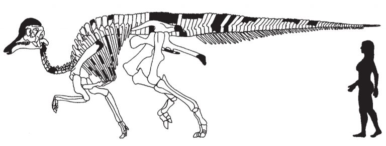 Skeletal reconstruction of Amurosaurus riabinini Bolotsky and Kurzanov, 1991. Black elements are not preserved in the available material. By Pascal Godefroit, Yuri L. Bolotsky, and Jimmy Van Itterbeeck