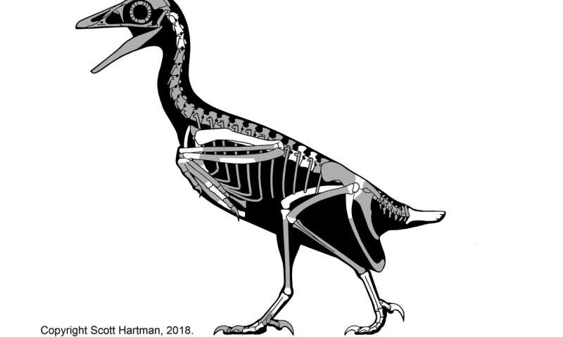 Skeletal reconstruction of Mirarce eatoni, an extinct bird that lived in Utah about 75 million years ago. Mirarce was a very large, strong flier. Credit: Scott Hartman (skeletaldrawing.com)