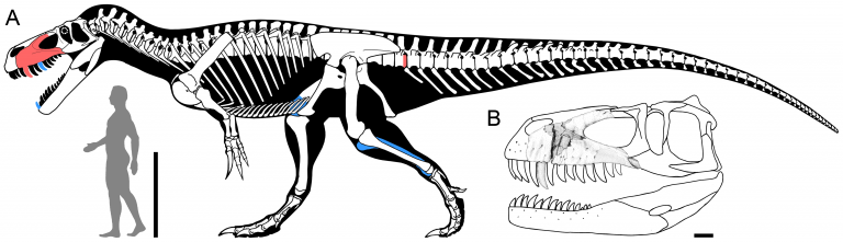 Skeletal reconstruction of Torvosaurus gurneyi from Hendrickx & Mateus (2014).