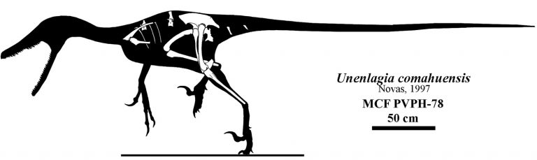 Skeletal reconstruction of Unenlagia comahuensis. Jaime A. Headden