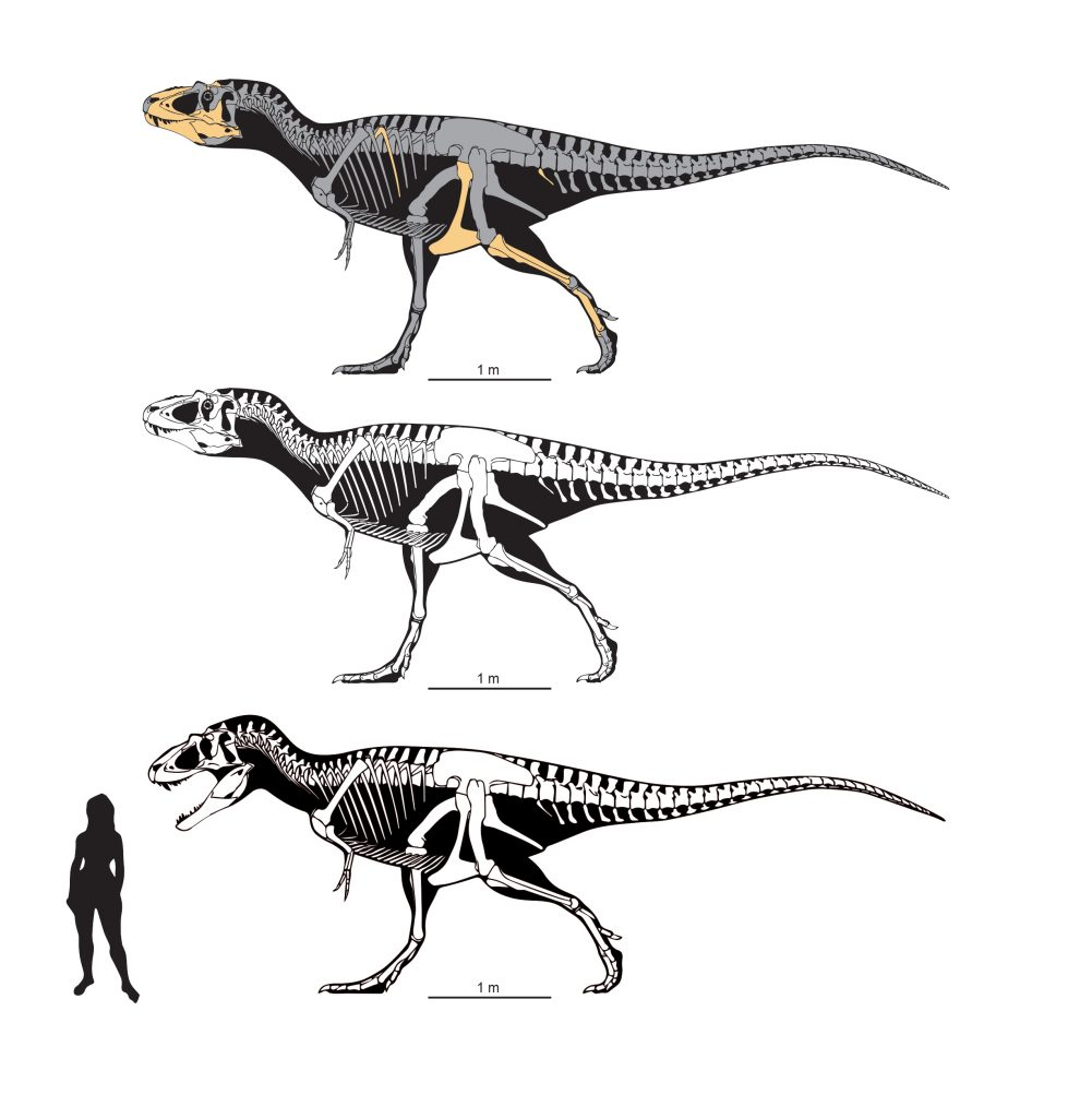 Skeletal reconstructions of Lythronax, the yellow bones at top showing known elements. Art by Scott Hartman