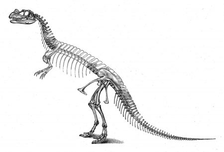 Skeleton of Ceratosaurus, a theropod dinosaur. Date: 1896 Source: Originally from O. C. Marsh's book, The Dinosaurs of North America; found in). Author: O.C. Marsh.