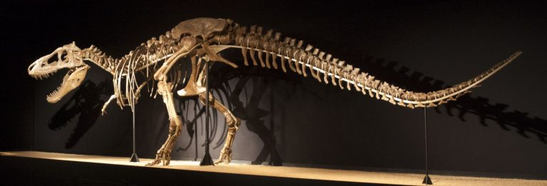 Skeleton of Tarbosaurus baatar in Barcelona. Author Jordi Payà