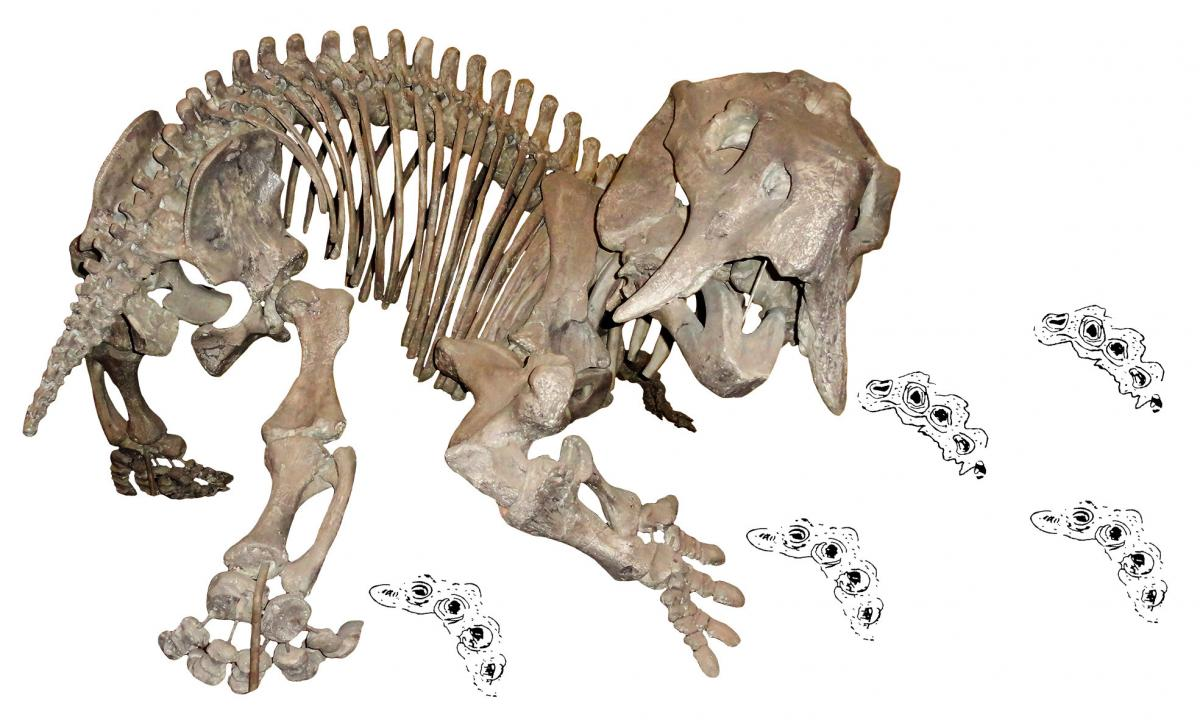 Skeleton of the dicynodont Placerias, a close relative of the newly-discovered Pentasaurus, with dicynodont trackways (Pentasauropus). Credit: Christian Kammerer  Read more at: https://phys.org/news/2018-03-year-old-paleontological-mystery-phantom-dicynodont.html#jCp