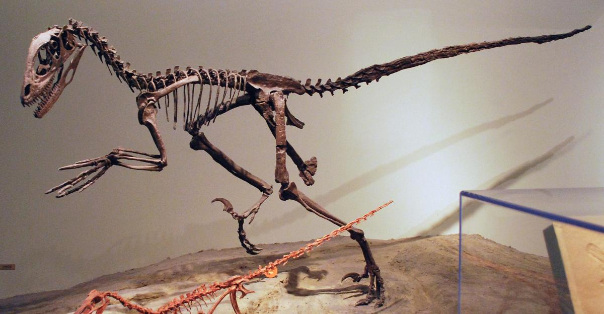 Skeleton of the dromaeosaurid dinosaur Deinonychus at Field Museum of Natural History. At the bottom is the skeleton of Buitreraptor.