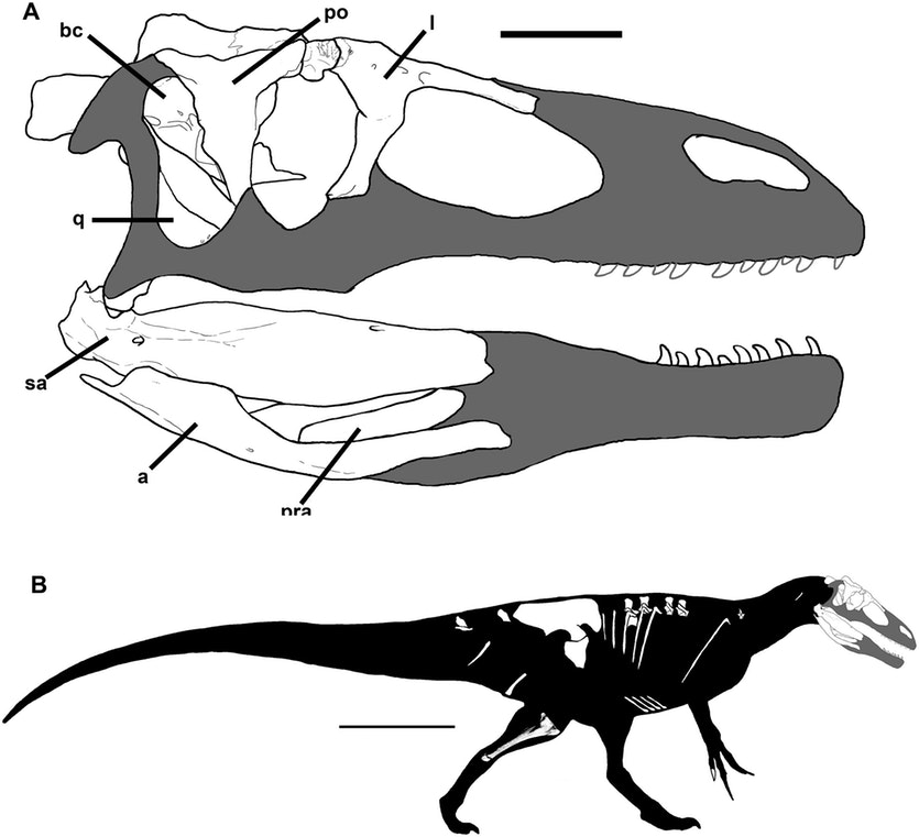 Skull and body reconstructions of Murusraptor barrosaensis. Discovered bones are in white. CREDIT: CORIA ET AL, 2016, PLOS ONE