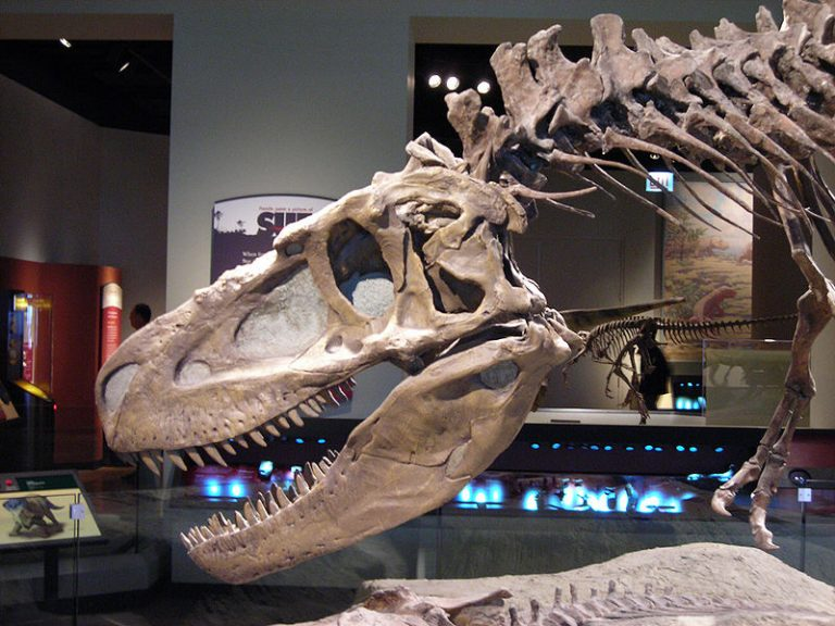 Skull and neck of Daspletosaurus, from the Field Museum of Natural History in Chicago.