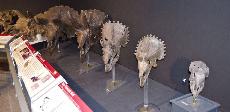 "Skull growth series: A display of Triceratops horridus skulls, from baby to adult, at the Museum of the Rockies in Bozeman, Montana. Dinosaurs are classified into four growth stages: baby, juvenile, subadult, and adult. The skull to the far right is a baby, collected in Garfield County, Montana. (This is a cast.) The second and third skulls from the right are juveniles, one larger than the other. (The one second from the right was found in Garfield County, Montana. The one third from the right was found in McCone County, Montana.) Note the triangular frill nodules (not yet fused with the frill), the backward-curving horns, the longer snouts, and the lack of holes in the frill. The fourth from the right is a subadult (teenager). Although the horns still curve backward, the frill nodules are fusing with the frill and the snout is showing large ""excavation"" (areas of no bone). The final skull on the far left is an adult. All of these skulls were collected in Montana. Author: Tim Evanson"