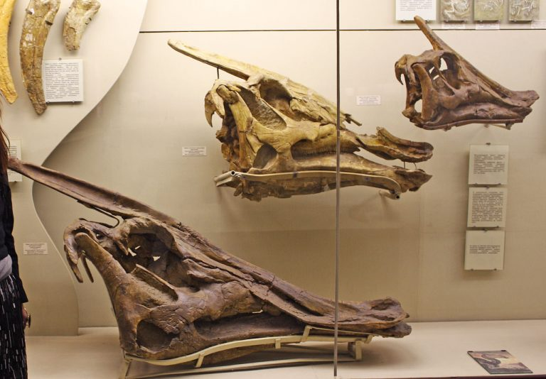 Skulls in Moscow Paleontological Museum. Author: Pavel Bochkov