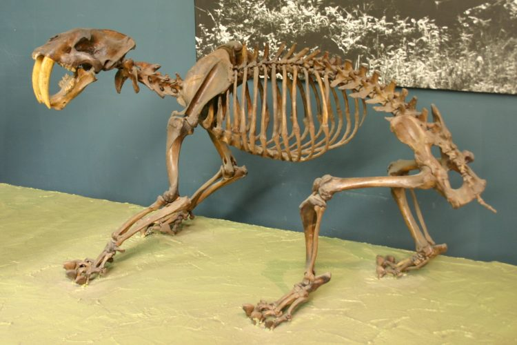 Smilodon californicus fossil at the National Museum of Natural History, Washington, D.C. Author: Ryan Somma
