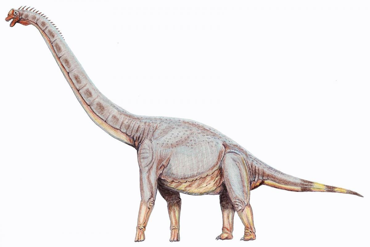 "Sonorasaurus is a genus of brachiosaurid dinosaur from around 93 million to 112 million years ago. It was a herbivorous sauropod whose fossils have been found in southern Arizona in the United States. Its name, which means ""Sonora lizard,"" comes from the Sonoran Desert where its fossils were first found. It is estimated to have been about 49 feet long and 27 feet tall, about one-third of the size of Brachiosaurus.  Wikipedia"