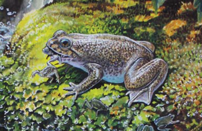 Southern gastric brooding frog, by Peter Schouten