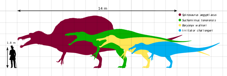 Scale chart of 4 different members of the Spinosauridae family: Spinosaurus, Suchomimus, Baryonyx, and Irritator.