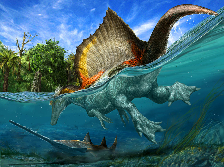 The only known dinosaur adapted to life in water, Spinosaurus aegyptiacus swam the rivers of North Africa about 95 million years ago. Image credit: © Davide Bonadonna / National Geographic magazine.