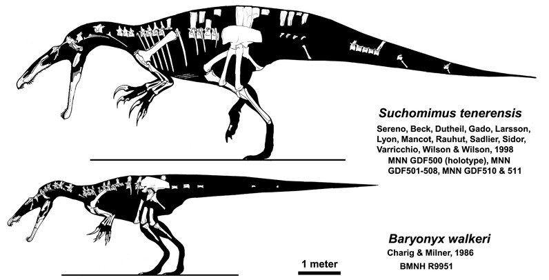Skeletal diagram of the holotype specimen (below) compared with the closely related genus Suchomimus