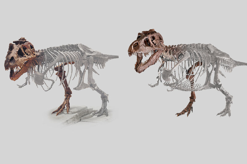 Sue before (left) and after. Changes include an added set of belly ribs and updates in posture. JOHN WEINSTEIN/FIELD MUSEUM