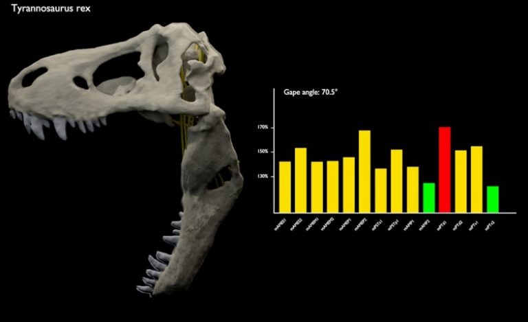 T. rex had a huge jaw gape, study shows