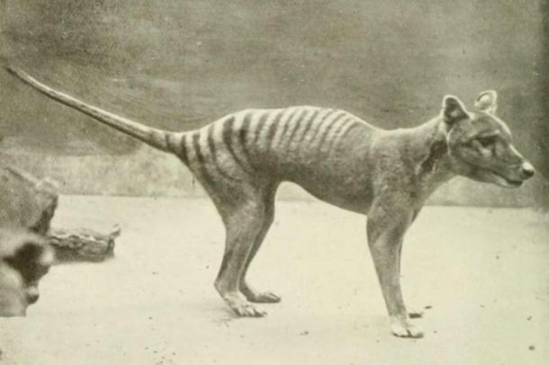 Scientists have almost completed the mapping of the Tasmanian Tiger genome, another extinct species that may soon be revived (public domain).