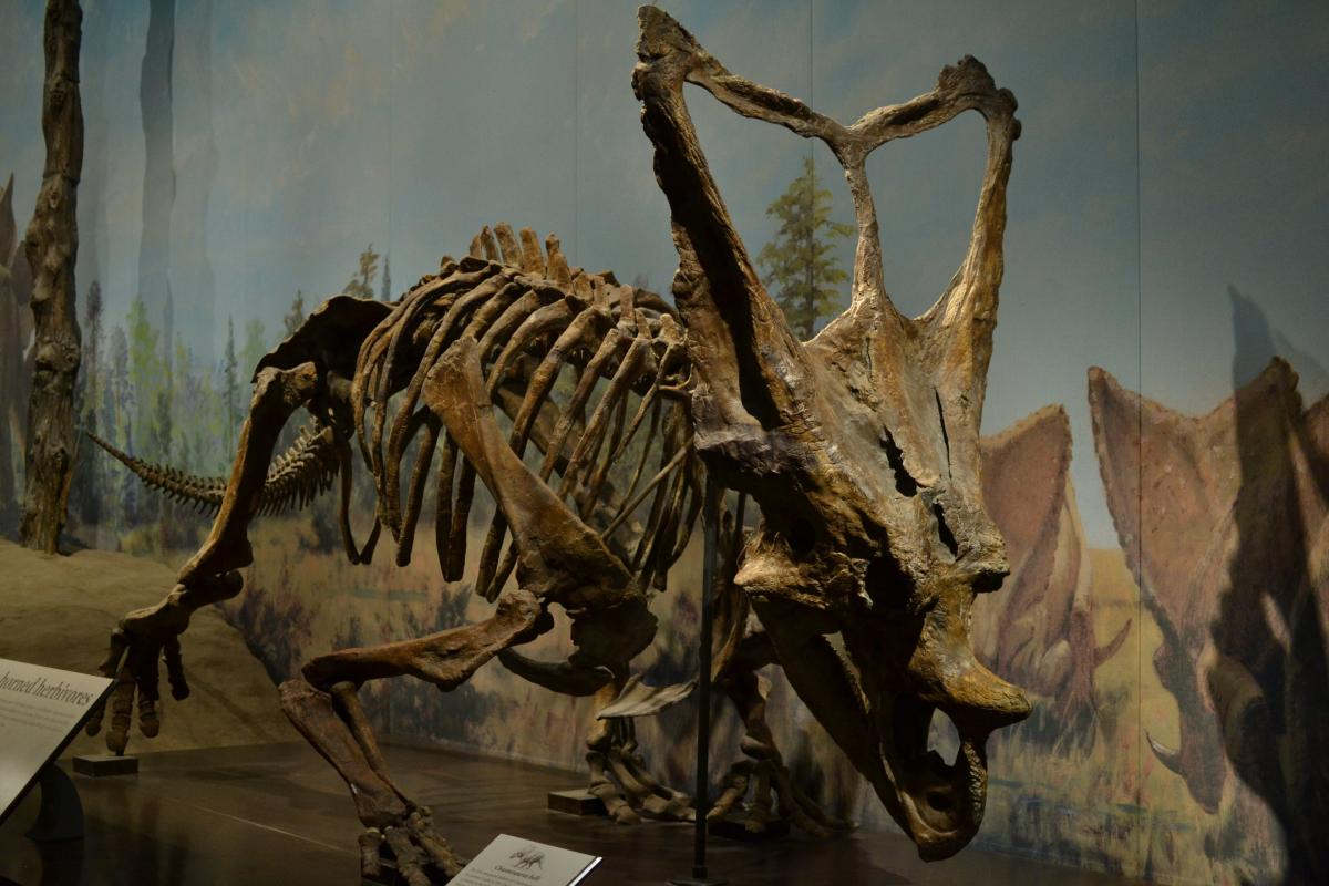 The Chasmosaurus skeleton in the Royal Tyrrell Museum of Paleontology. Credit: Royal Tyrrell Museum of Paleontology