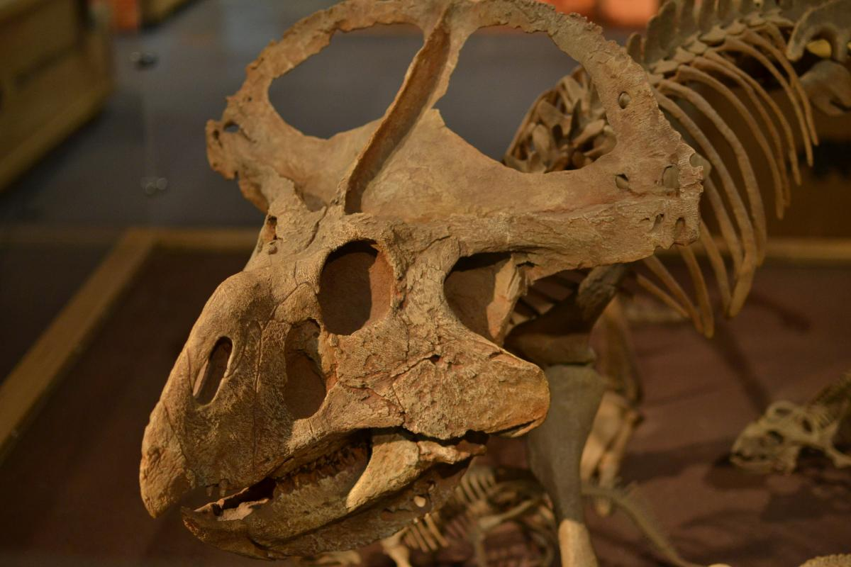 The Protoceratops in the Horniman Museum, London. Credit: Horniman Museum, London