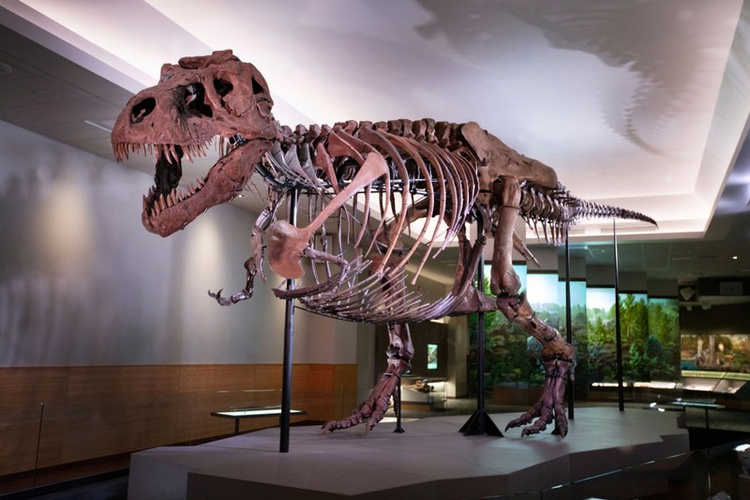 The Tyrannosaurus rex named Sue is shown on display at the Field Museum in Chicago, Illinois, U.S., in this undated photo provided January 1