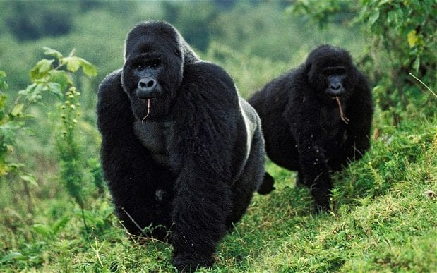 The ancestors of gorillas were the first mammals to become diurnal, which is why their eyesight is so good