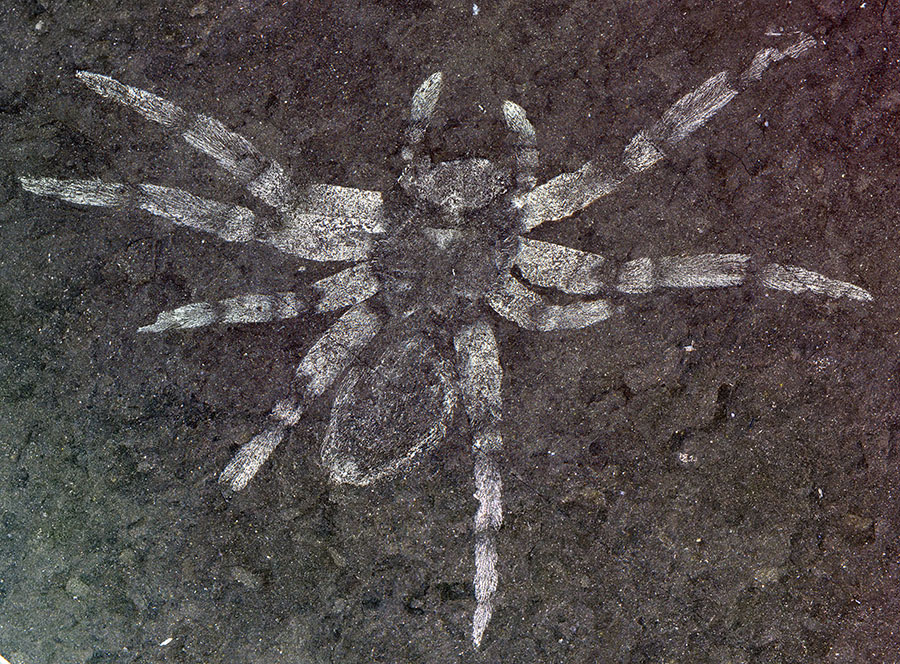 The defining specimen of Koreamegops samsiki, a newfound species of spider that lived in what is now South Korea between 106 and 112 million years ago. PHOTOGRAPH BY PAUL ANTONY SELDEN