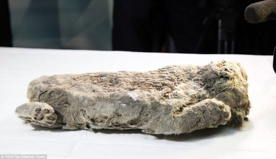 The extraordinary find - which raises hopes of cloning the long-gone species back to life - was unveiled today in Yakutsk, capital of Russia's largest and coldest region, the Sakha Republic