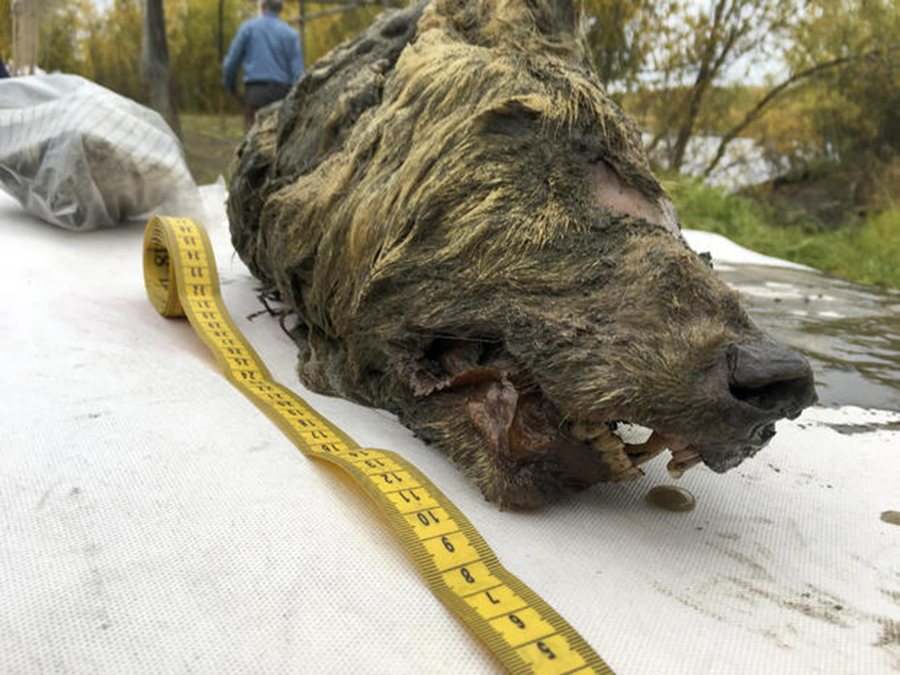 The head of an Ice Age wolf was found in permafrost during an expedition of the Mammoth Fauna Study Department at the Academy of Sciences of Yakutia near Belaya Gora, in Russia's Sakha Republic. Experts believe the wolf roamed the earth about 40,000 years ago. ALBERT PROTOPOPOV / AP