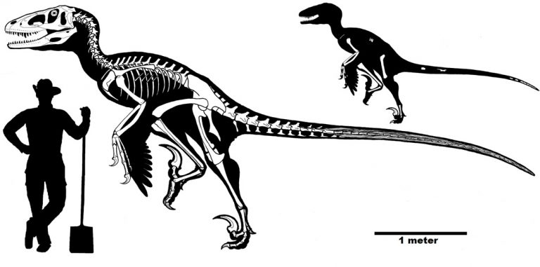 The known elements of Dakotaraptor and a reconstructed skeleton. From DePalma et al., 2015.