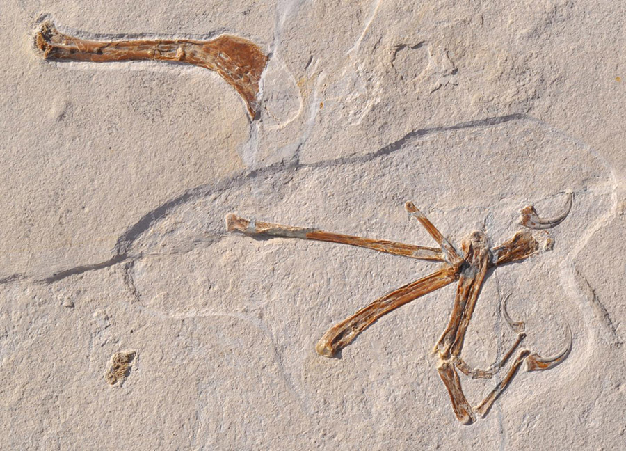 The picture shows the wing of Alcmonavis poeschli as it was found in the limestone slab. Alcmonavis poeschli is the second known specimen of a volant bird from the Jurassic period. Credit:  Ludwig Maximilian University of Munich