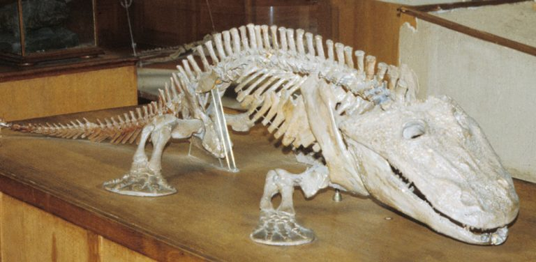 The skeleton of Eryops, one of the earliest land-walking tetrapods. Credit: © Christine M. Janis
