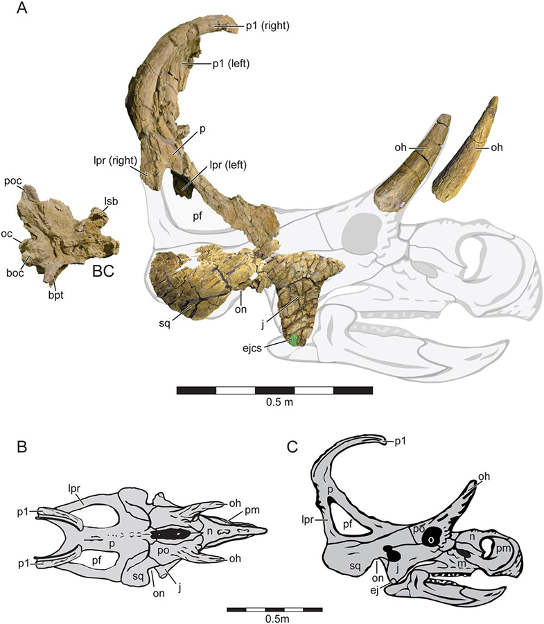 The skull of the new ceratopsian dinosaur Machairoceratops, whose discovery site at Grand Staircase has been excluded from the monument. Lund et al., 2016, CC BY