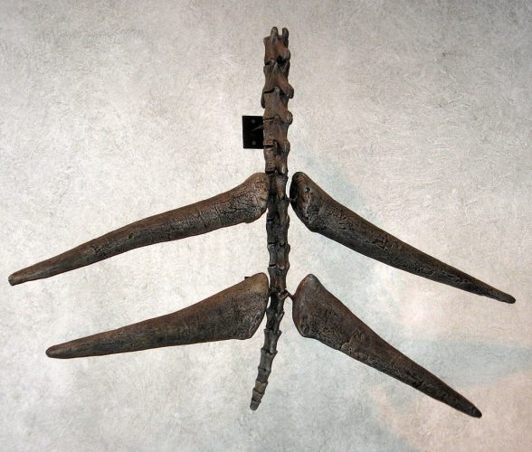 The spiked tail of Stegosaurus (Wikimedia Commons)