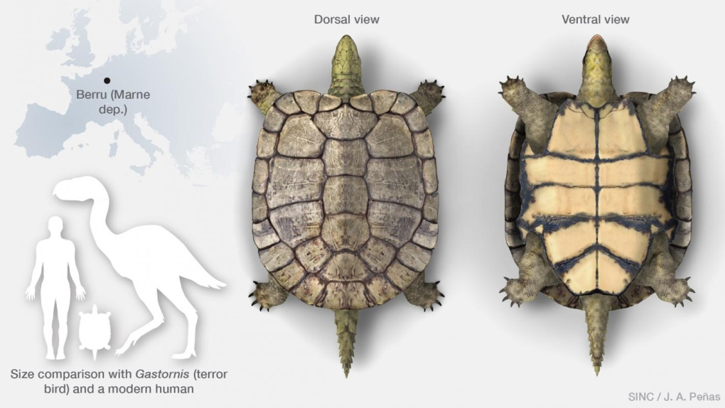 This is Laurasichersis relicta, an extinct turtle genus and species that corresponds to a new form. (José Antonio Peñas (SINC))