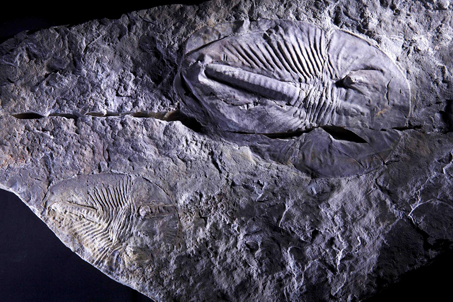 This is a fossilized trilobite Aldonaia from the Cambrian Period. CREDIT: Andrey Zhuravlev, Lomonosov Moscow State University