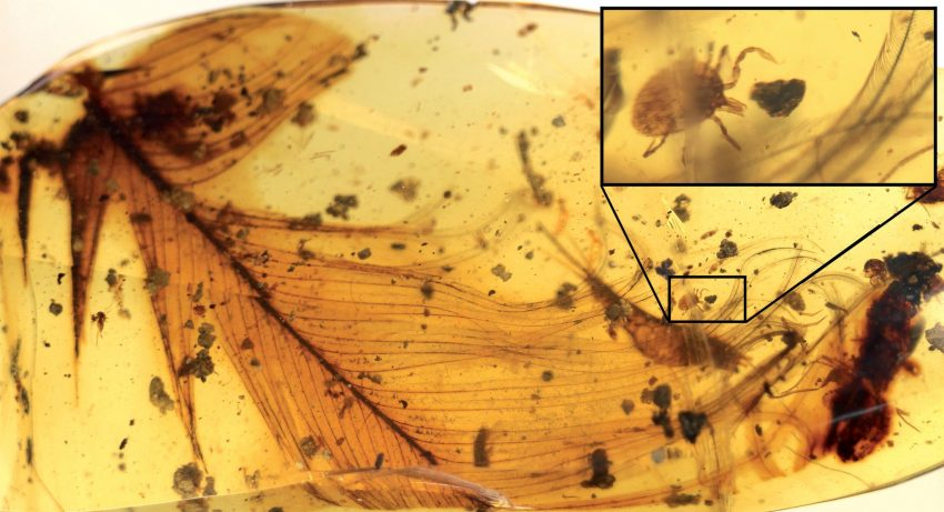 An image of a 99-million-year-old tick, enlarged at inset, grasping a dinosaur feather, preserved in amber found in Myanmar. Credit Nature Communications; Peñalver et al.