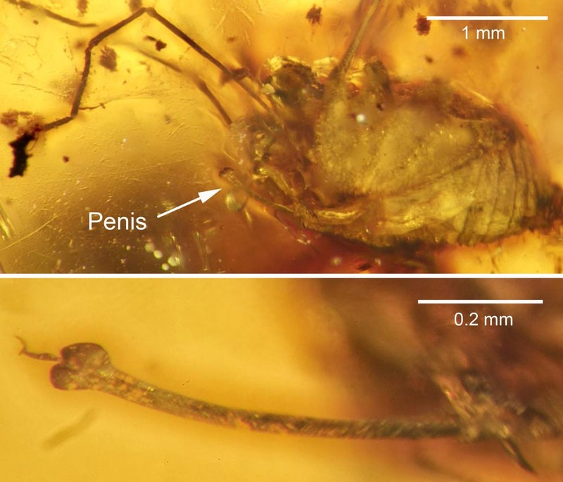 Top: The daddy longlegs with penis identified. Below: Close-up of the fully erect penis. (Image: J. A. Dunlop et al., 2016)