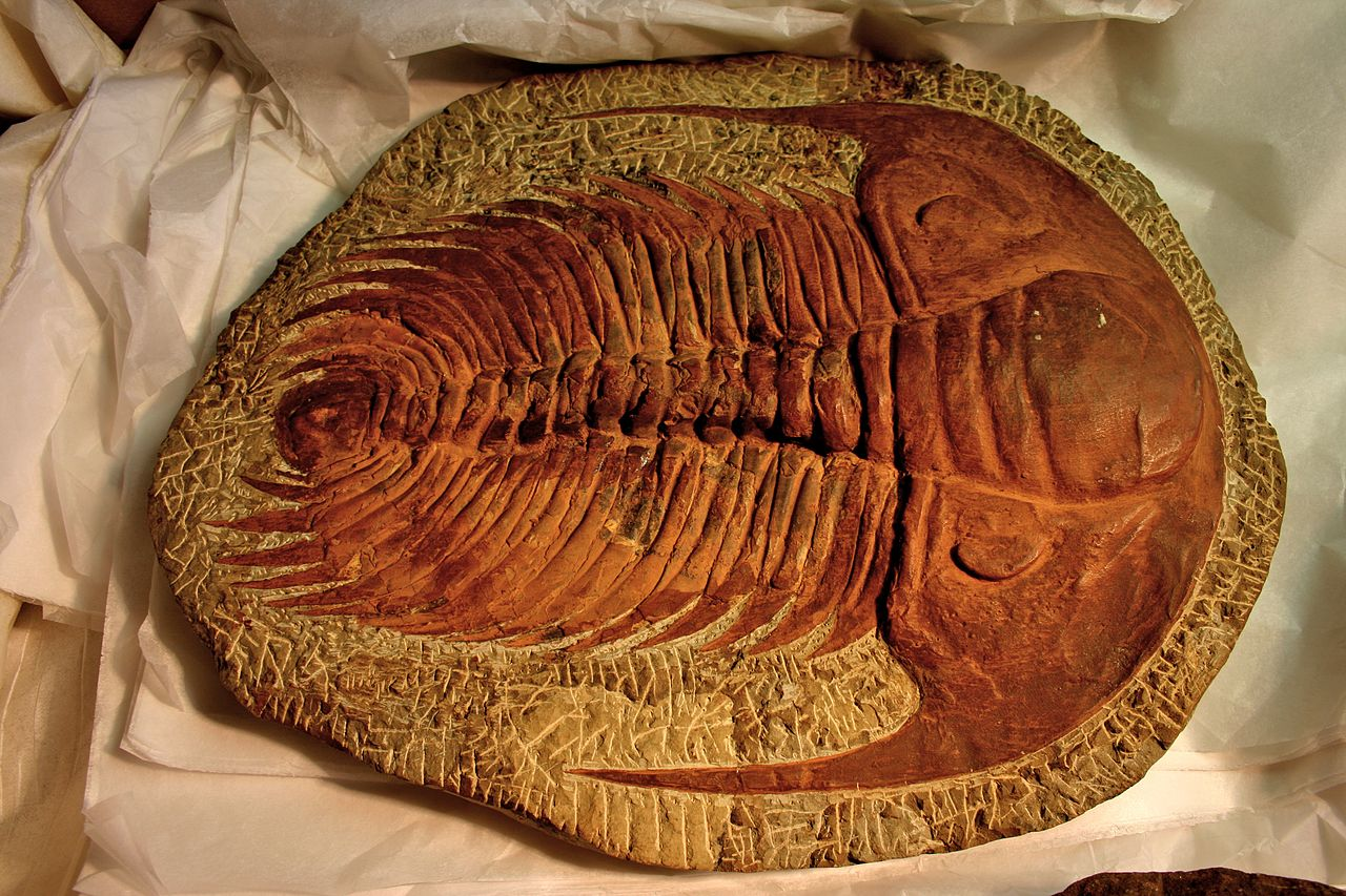 Redlichiida, such as this Paradoxides, may represent the ancestral trilobites.