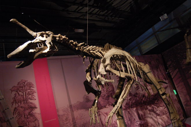 Photo by KoS, distributed under the Creative Commons Attribution-Share Alike 3.0 Unported, 2.5 Generic, 2.0 Generic and 1.0 Generic license. A reconstructed skeleton of the hadrosaur Tsintaosaurus.