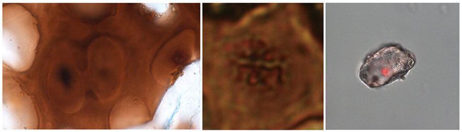 Left: Two cartilage cells shown still connected in a way that resembles the final stages of cell division. Center: A cell containing structures that resemble chromosomes. Right: An isolated dinosaur cartilage cell with red staining that indicates the presence of DNA. Science China Press