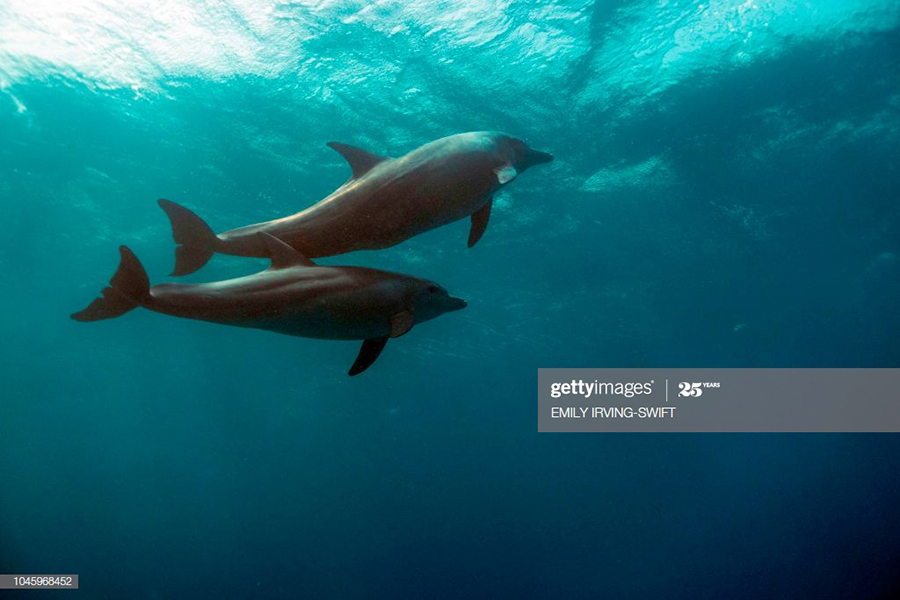 Two dolphins swim in the Egyptian Red Sea marine reserve. (Photo: EMILY IRVING-SWIFT/AFP, Getty Images)
