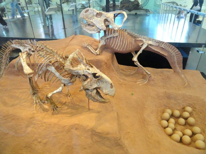 Two skeletons and a reconstructed nest, AMNH