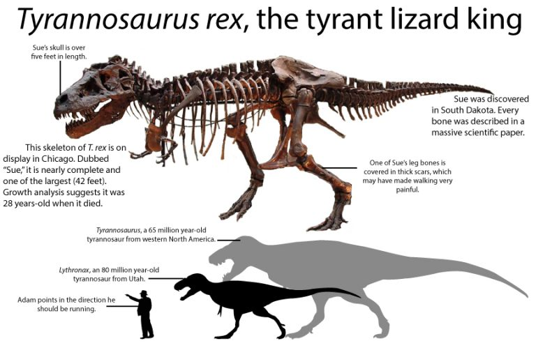 Tyrannosaurus rex skeleton size comparison to Lythronax