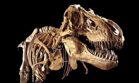 Predators like Tyrannosaurus rex grew fast and died young. Photograph: Louie Psihoyos/Corbis